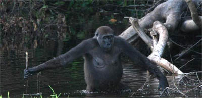 Leah, a gorilla, uses a stick to test the depth of water while wading through it