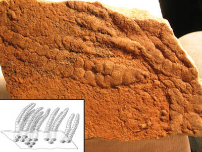 Funisia Fossils and Reconstruction
