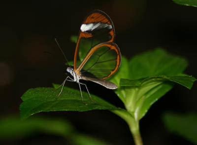 Greta oto aka. Glasswing Butterfly