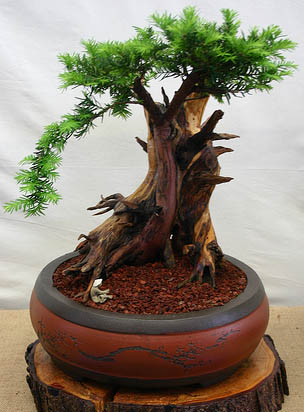 40 Year Old Bonzai Yew Tree