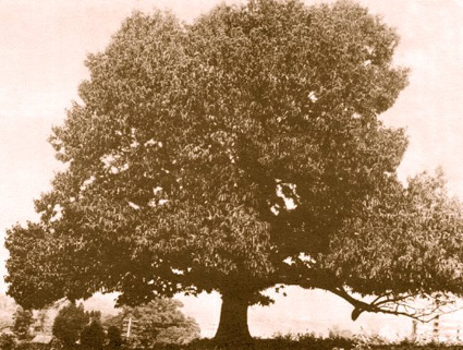 American Chesnut