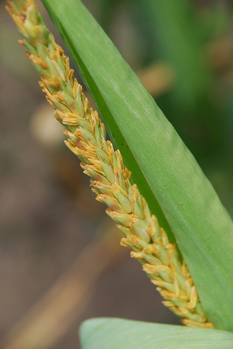 Maize tassel with anthers emerging
