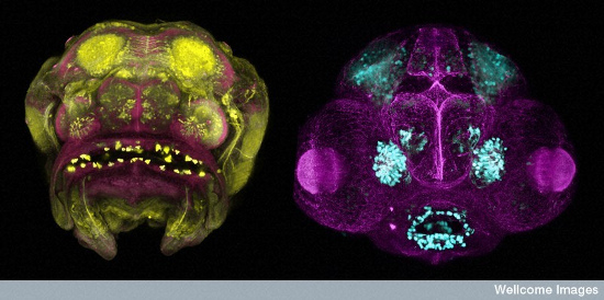 Cavefish and Zebrafish Embryos