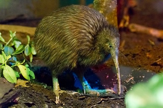 New Zealand Kiwi, Flightless Bird