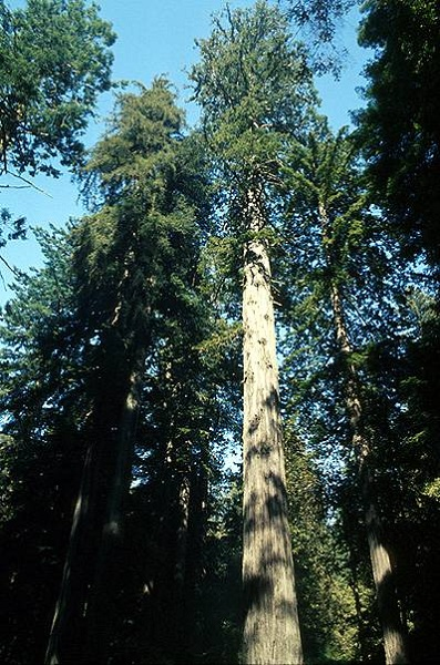 Coastal Redwood