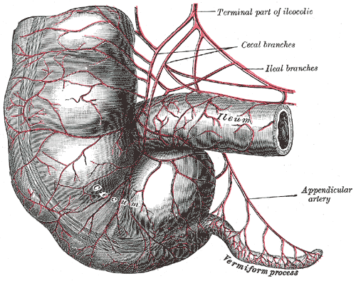 Veriform Apendix Connected to Large Intestine