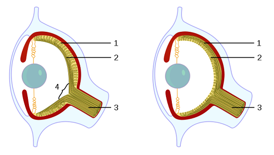 Vertebrate VS Octopus Eye