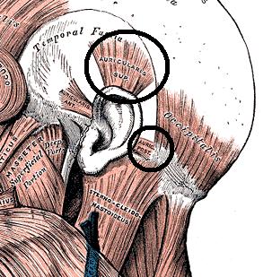 Ear Muscles