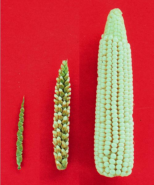 Teosinte, Maize-teosinte hybrid, Maize.