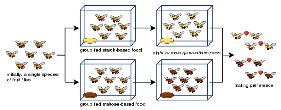 allopatric speciation in the fruit fly