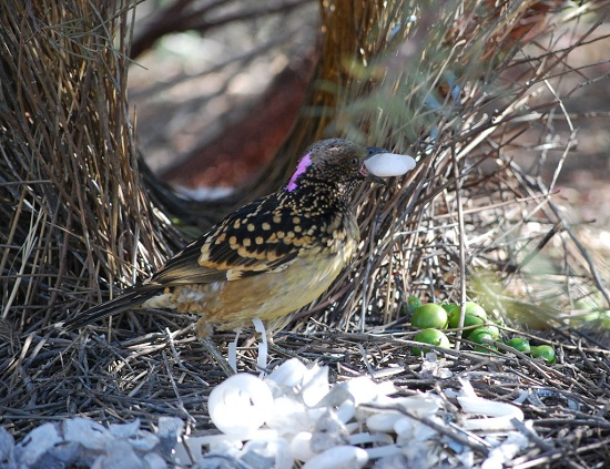 Bowerbird Sorting His Treasures