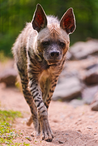 Walking striped hyena